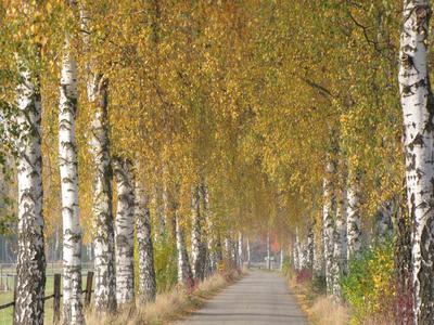 Die Birke Minden